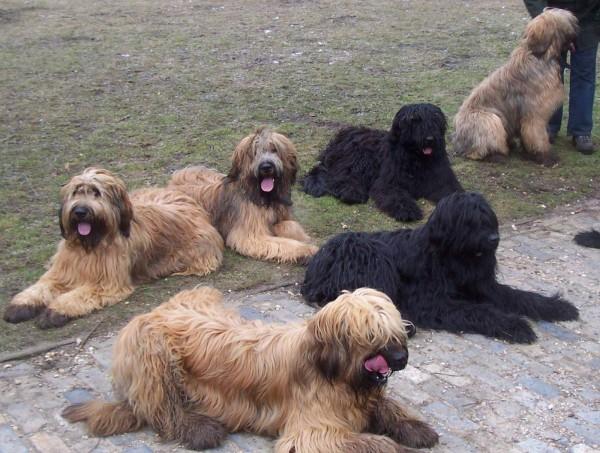много собак породы бриар