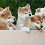 Акита-ину: фото и описание породы собак