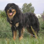 Бурят-монгольский волкодав