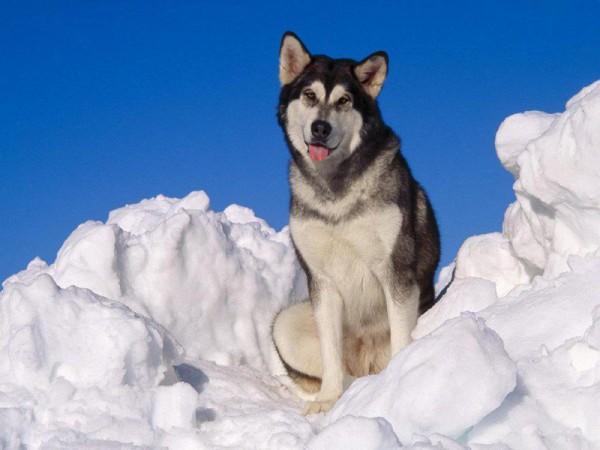 Маламут в снегу
