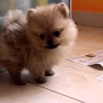 Померанский шпиц щенок