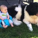 Ньюфаундленд и дети