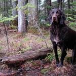 Пойнтер в лесу