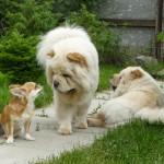 Чао-чао – собака из Китая