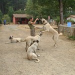 Анатолийская овчарка кангал