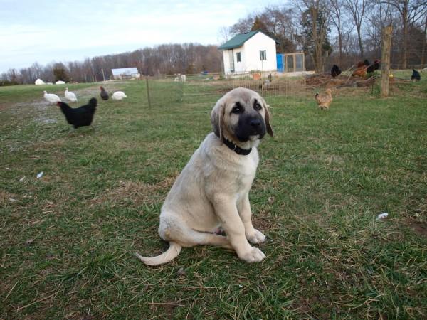 Анатолийская овчарка кангал щенок