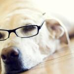 Лабрадор-ретривер в очках