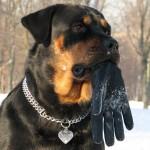 Ротвейлер с перчаткой во рту