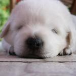 Маленький щенок Мареммо-абруццкой овчарки