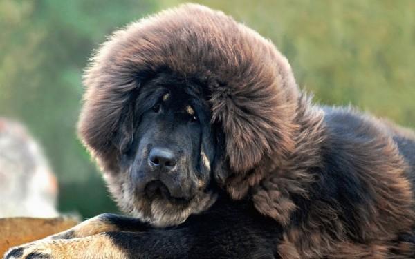 http://prosobak.com/wp-content/uploads/2015/07/1920x1200_tibetskij-mastif-tibetan-mastiff-sobaka-pyos-600x375.jpg