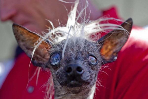 "Лауреат конкурса ""самая уродливая собака"""