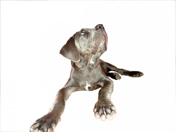 Неаполитанский мастиф щенок