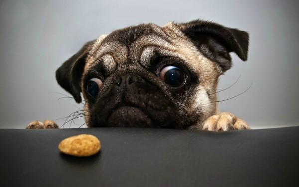 Мопс и печенька