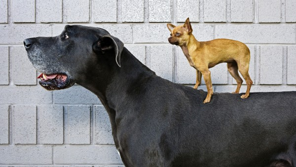 Чихуахуа и нормальная собака
