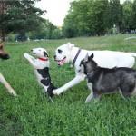 Мини бультерьер играет с другими собаками