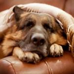 Немецкая овчарка спит