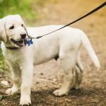Лабрадор-ретривер на прогулке