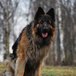 Длинношерстная немецкая овчарка