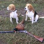 Бигль на охоте