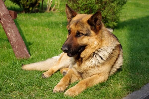 Как назвать щенка немецкой овчарки