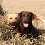 Лабрадоры-ретриверы в сене