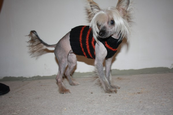 Китайская хохлатая в свитерочке