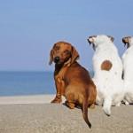 Такса отдыхает на берегу моря с друзьями