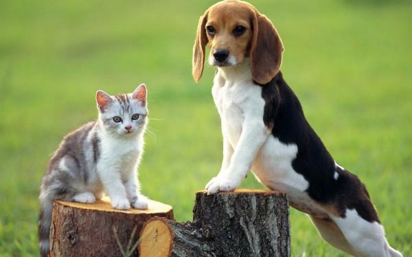 Бигль с котом