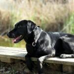 Черный лабрадор-ретривер