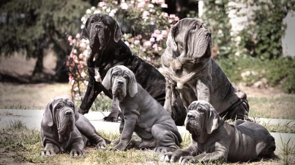 Семейство неаполитанских мастифов