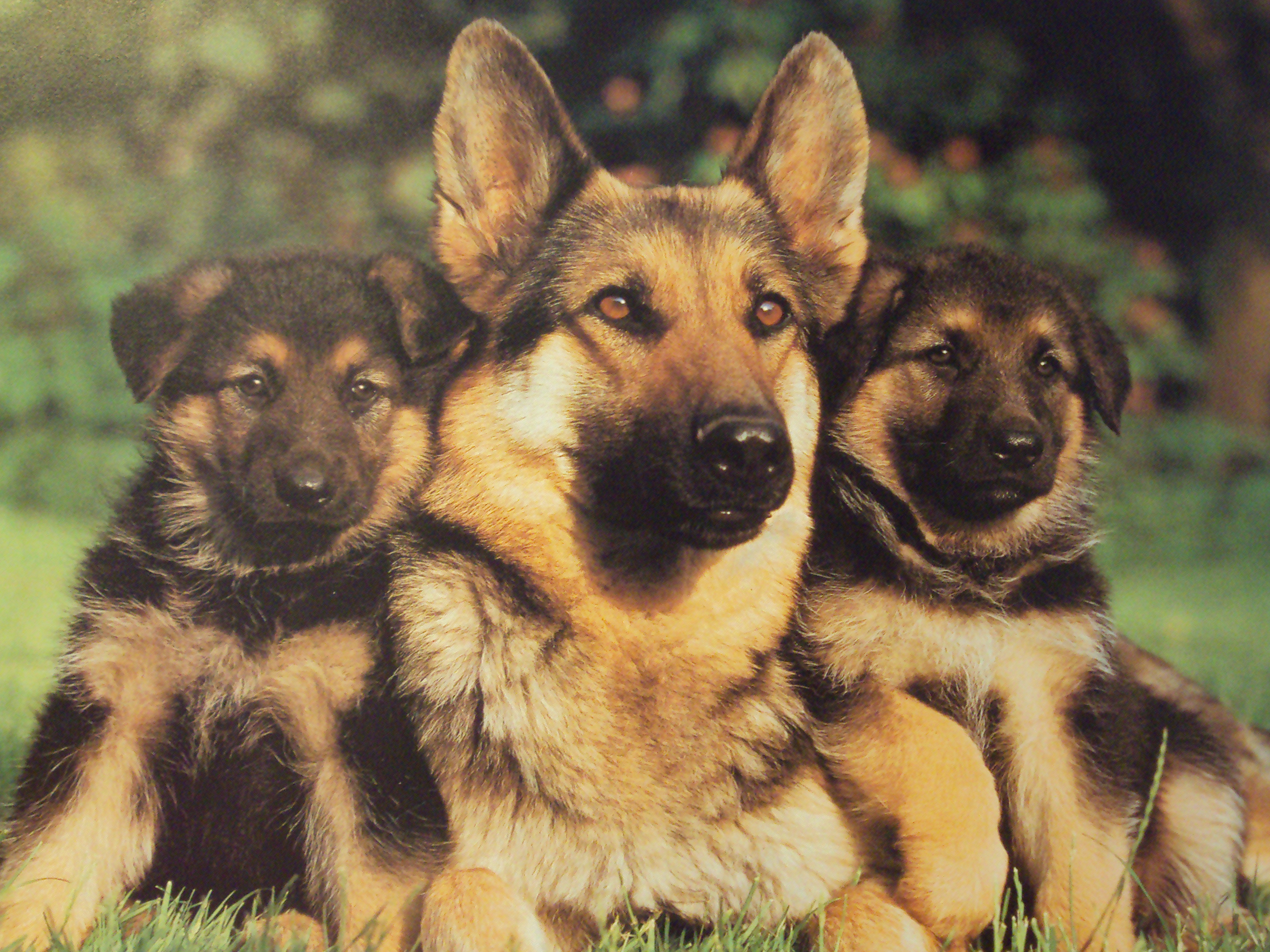 Do German Shepherds Get Along With Dogs