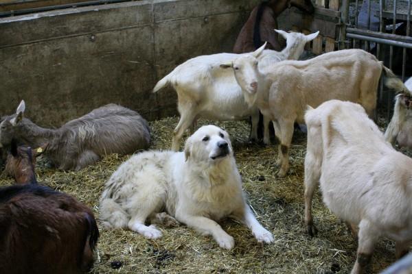 Мареммо-абруццкая овчарка охраняет стадо