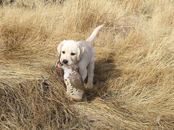 Лабрадор-ретривер с дичью