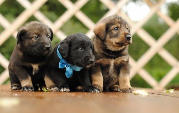 Маленькие щенки немецкой овчарки