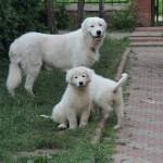 Мареммо-абруццкая овчарка с семейством