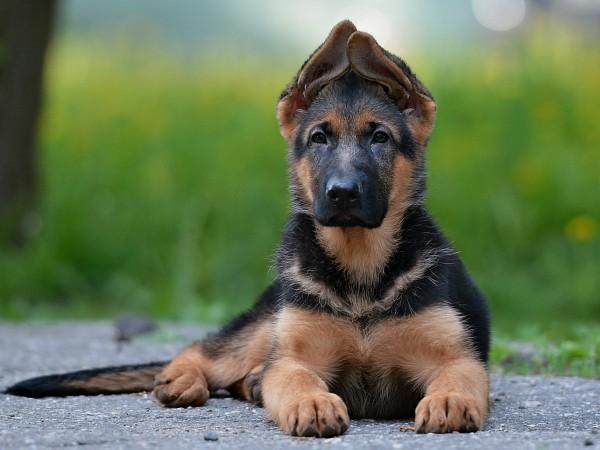 Как научить щенка немецкой овчарки командам видео