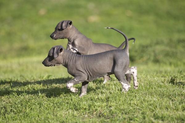 Мексиканская голая собака или Ксолоитцкуинтли