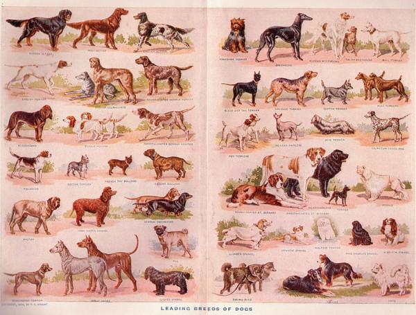Как называется порода собак похожая на волков