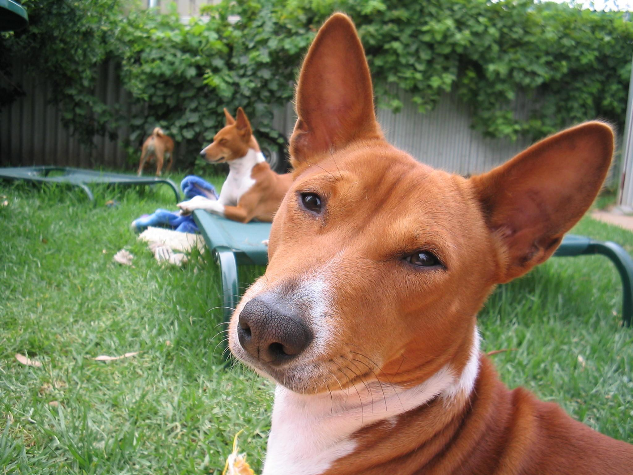 собаки породы басенджи фото