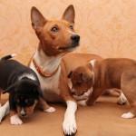 Басенджи с щенками