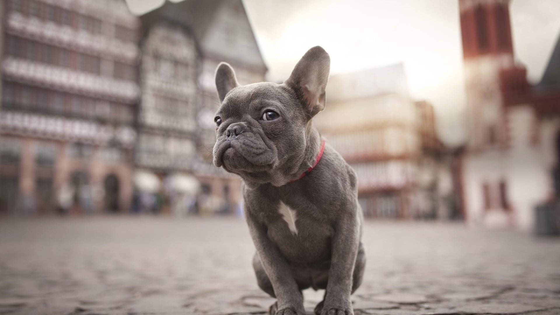 Картинки собаки бульдога
