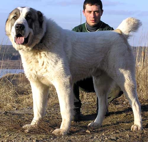 Таджикский алабай