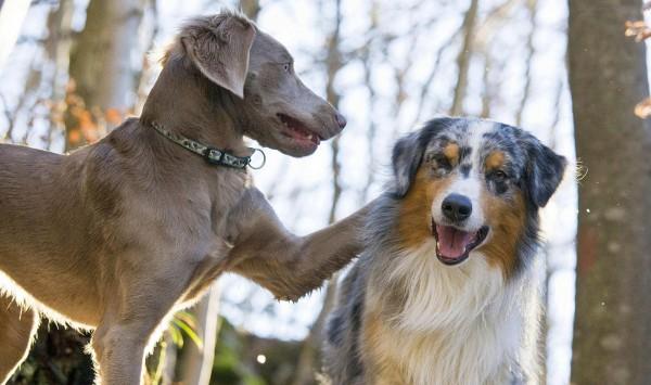 Знакомство собак