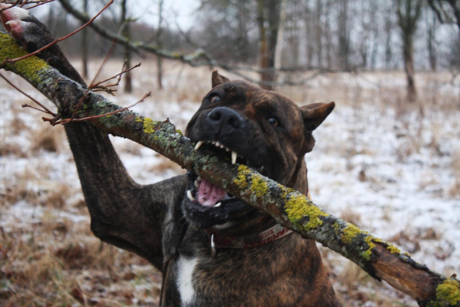 фото аланской собаки