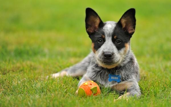 как давать собаке таблетки от глистов цестал