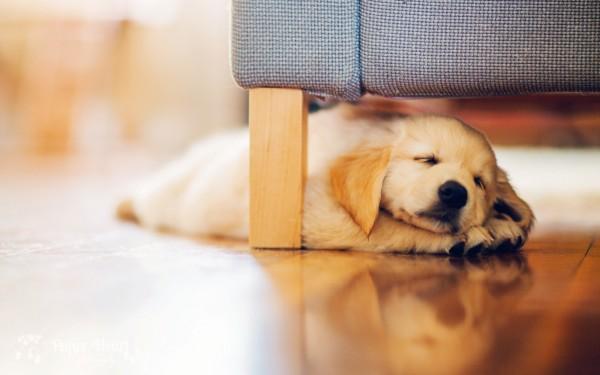 Щенок ретривера спит на полу
