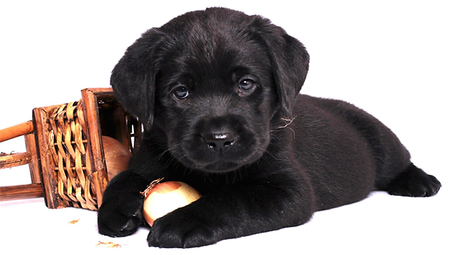 Чем кормить щенка хаски 1 месяц в домашних условиях