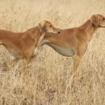 Два Салюки в высокой траве