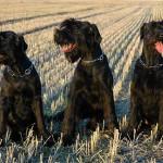 Три черных ризеншнауцера