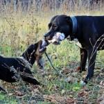Ягдтерьер играет с другой собакой